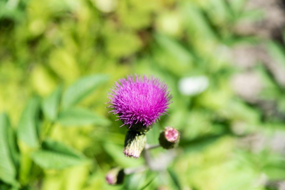 Fleur au Parc naturel Vedrette de Ries