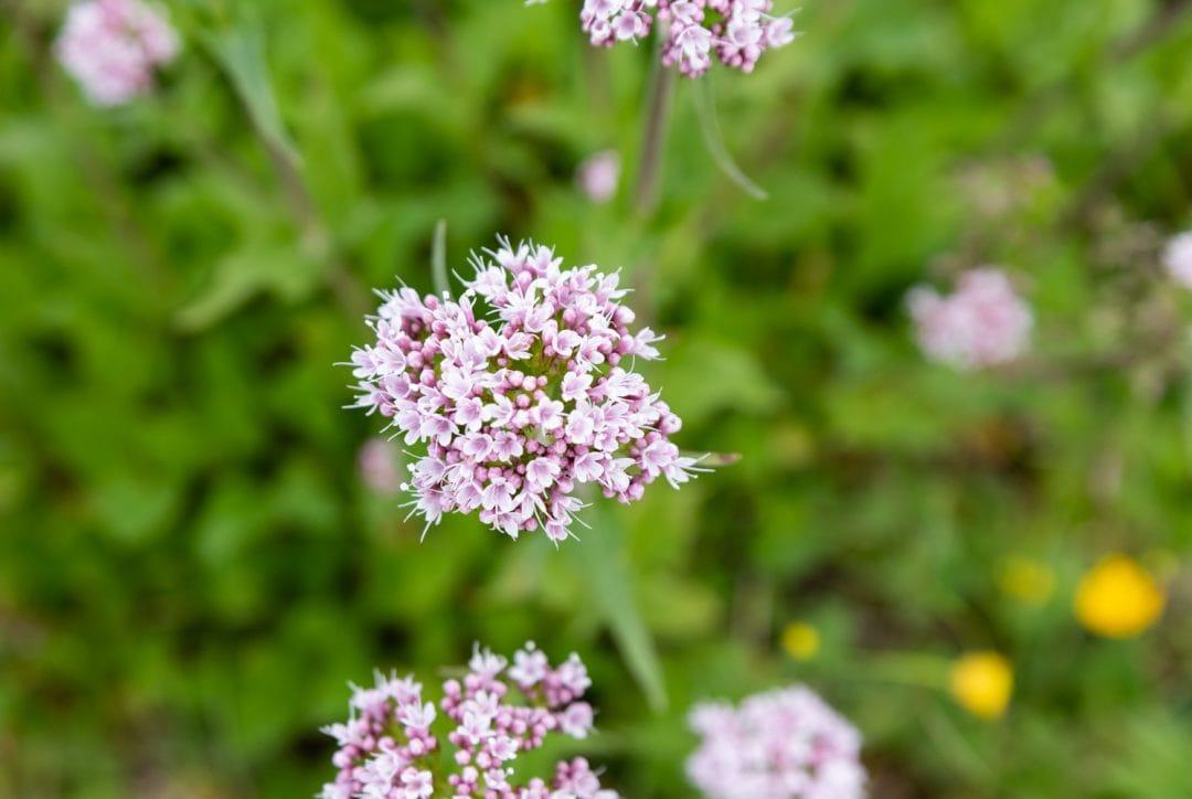 Fleurs Cinq Torri