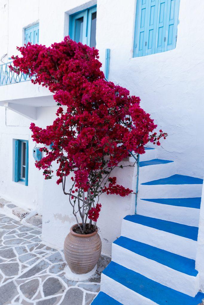 Bougainvillier en fleurs dans une ruelle de Plaka sur l'île de milos