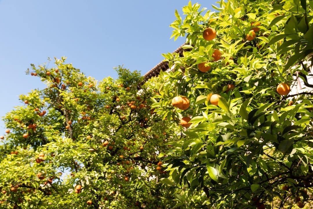 Orangers Alcazar
