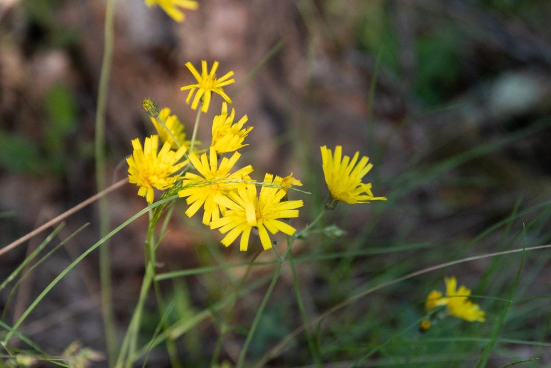 fleur dans le colorado provençal