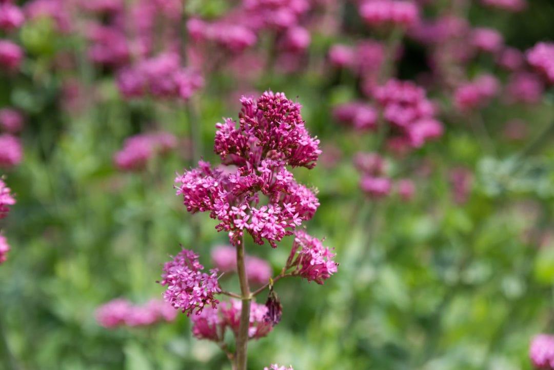 fleurs à Gordes