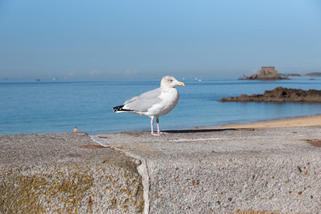 Mouette à Saint-Malo